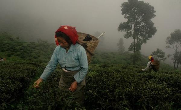 Food-фото: сбор урожая черного чая в Дарджилинге