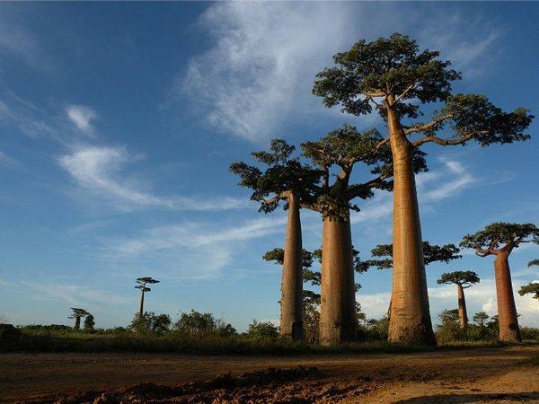 799px-Allée_des_Baobabs_near_Morondava,_Madagascar 1
