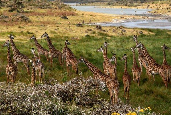800px-Giraffes_Arusha_Tanzania 1