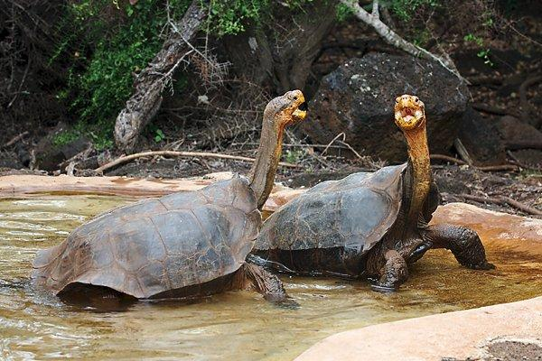 Galapagos_dominance_display 1