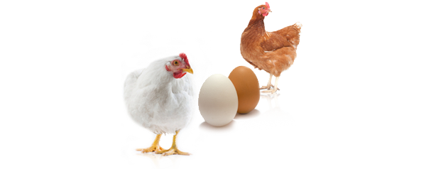 В чем разница между белыми и коричневыми яйцами