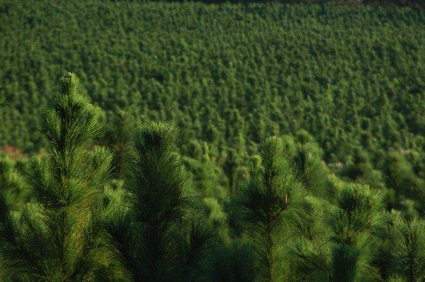 Pine trees, North Florida, Forest. UF/IFAS Photo: Thomas Wright.