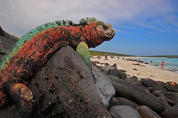 Iguana-Marine-Iguana-Espanola-Island-Galapagos
