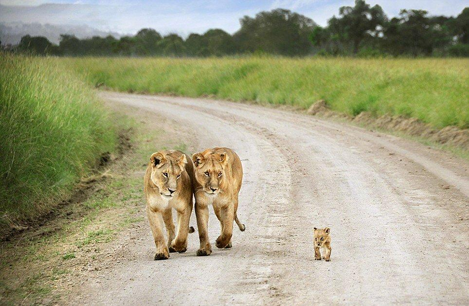 Lionesses and cub, Masai Mara, Kenya