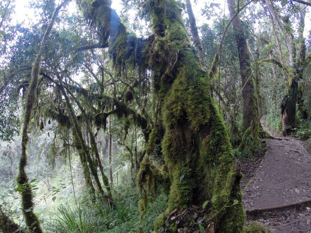 Килиманджаро. Лес
