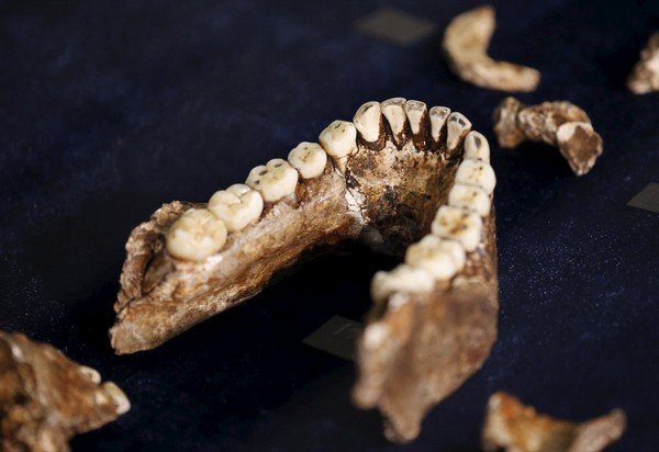 "Fossils of a newly discovered ancient species, named ""Homo naledi"", are pictured during their unveiling outside Johannesburg"