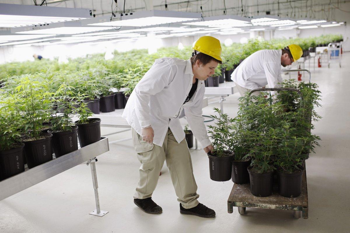 Конопля в производстве аутдор марихуаны