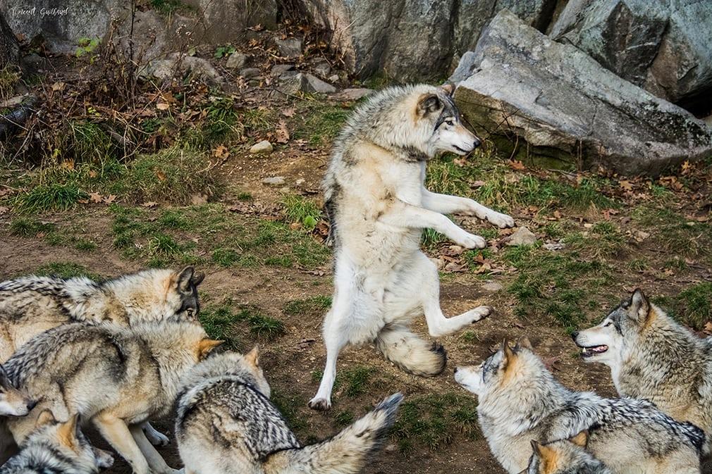 Картинки волки смешные, год открытки своими